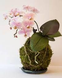 Картинки по запросу кокедама для орхидей