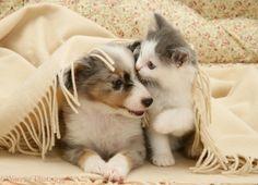 Kitten and Sheltie pup under a blanket