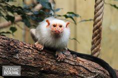 Le #ouistiti argenté vit dans les forêts tropicales du Brésil. C'est un gommivore : il consomme la gomme des arbres !