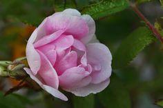 Rosa 'Lumo'