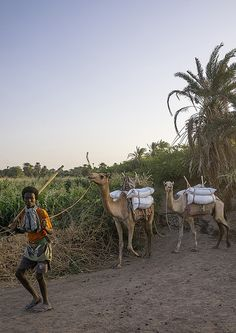 Afar Tribe Man With His Camels, Afambo, Ethiopia by Eric Lafforgue