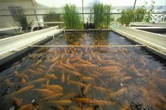 Sustainable Aquaculture Fish Farming - Homestead Process For Healthy Fish Diet