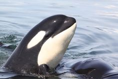 Orca...look at those eyes, so much like our own.