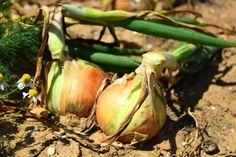 Los secretos y los consejos. Small Farm, Farm Gardens, Eggplant, Onion, Garlic, Vegetables, Gardening, Nature, Home