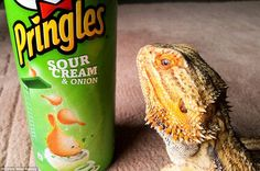 Pringle the bearded dragon has become an online sensation after his owner Sophie posted ph...
