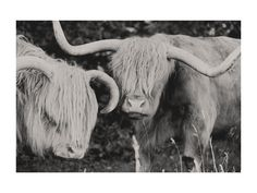 Highland Cows  limited edition print by Amy Carroll