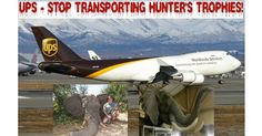 After the death of Cecil the Lion at the hands of Walter Palmer, nearly 20 airlines implemented a ban on the transport of hunting trophies, but some remain opposed to such a ban. UPS has strong policies that take wildlife protection into consideration ‐‐ like the inclusion of ivory and ivory products in the company's list of items prohibited for shipment ‐‐ but continues to ship the remains of Lions, Leopards and many other animals killed by trophy hunters. US President Donald Trum...
