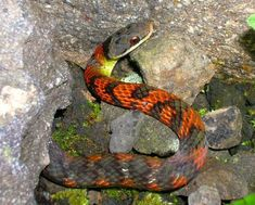 Fire bellied snake