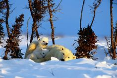 Celebrate 'Polar Bear Day' with these amazing facts
