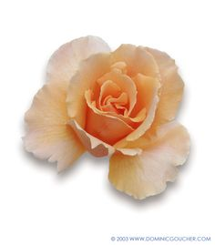 JUST JOEY (Hybrid Tea) Free flowering, large blooms of copper orange, fragrant, to 75cm
