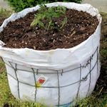 tomato pot made with garden fencing and old t-shirt