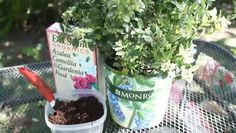 Video: How to Acidify Soil for Blueberries