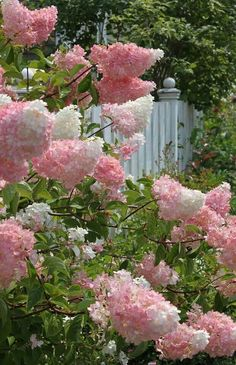[Contrary to its caption, this is not a French lilac. It's a hydrangea, possibly the Vanilla Strawberry variety. Do It Yourself Garten, Vanilla Strawberry Hydrangea, French Lilac, Hydrangea Paniculata, Garden Cottage, Garden Oasis, Herb Garden, Plantation, Trees And Shrubs