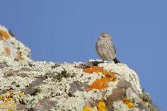 mis fotos de aves: Phrygilus plebejus Yal chico Ash-breasted sierra-f...