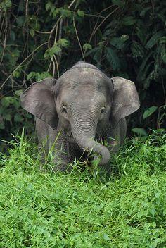 """Young Borneo Pygmy Elephant"" - photo by Daniel Trim, via Flickr;  in Sabah, Malaysia"