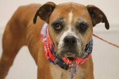ADOPTED>NAME: Fancy  ANIMAL ID: 30742942  BREED: Boxer mix  SEX: female (spayed)  EST. AGE: 10 yr  Est Weight: 47 lbs  Health: heartworm neg  Temperament: dog friendly, people friendly  ADDITIONAL INFO: RESCUE PULL FEE: $49  Intake date: 2/2  Available: 2/10