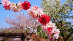京都首途八幡宮の鮮やかで可愛い紅白の源平枝垂れ桃