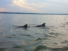 Dolphins in Hilton Head Island - a boat tour makes for a great family vacation activity.