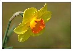 Forum Image & Nature • Afficher le sujet - Sujet commun de saison - Jonquille