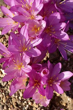 autumn crocus (Colchicum autumnale). These are the variety of fall crocus that I have.  They are also a good naturalizing bulb.