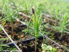pinos recién germinados. http://www.plantamus.es/venta-de-arboles-plantacion-plantones