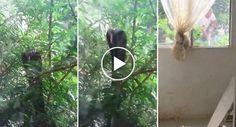 Família é Surpreendia Por Agressiva Cobra Real Que Tenta Partir Vidro Da Janela Para Comer Os Seus Gatos