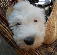 Wellington the Old English Sheepdog Puppy