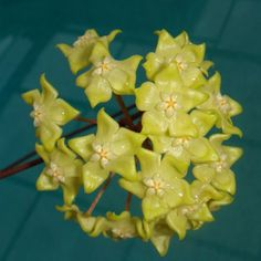 Hoya sp. AD19 Cutting IML 1029 [1029x] - $16.00 : Buy Hoya Plants Online in Many Species from SRQ Hoyas Today!