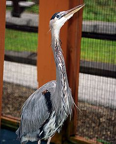 Artie, the great blue heron.