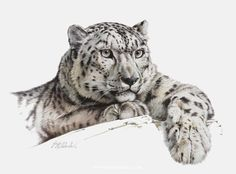 Snow Paws,Ruths Snow Leopard _ Guy Coheleach