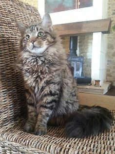 Oh so sweet! http://www.mainecoonguide.com/how-to-tell-if-a-kitten-is-a-maine-coon/