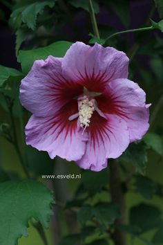 Hibiscus syriacus 'Gandini Santiago' (PURPLE PILLAR)  (Althea struik), mooi slank opgaand met grote bloemen, klein boompje. De hoogte na 10 jaar is 350 cm. De bloemkleur is blauwpaars. De bloeiperiode is augustus - september. Deze plant is goed winterhard.
