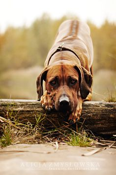 The Rhodesian Ridgeback also know as the African Lion dog, native to S. Africa they were originally bred to hunt lions.
