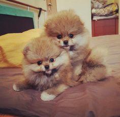 Pomeranians                                                                                                                                                                                 More