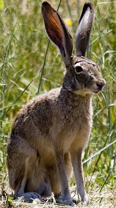 Texas Jackrabbit.  I actually raised one of these when I was a child.  Fed it from an eye dropper until it could eat for itself!  Talk about COUNTRY!