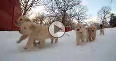 Puppies & Snow http://goldenretrieverfanclub.com/pups-snow/