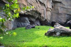 Chimpancés en Bioparc, Valencia