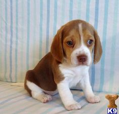 There's nothing better than a chocolate beagle puppy :)