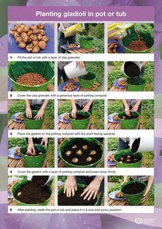 Gladiolis in pots.