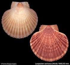 Leopecten sericeus (Hinds 1845) Dredged at 20 feet in sand. Cocos Isl. Costa Rica 2004 by George Sangiouloglou