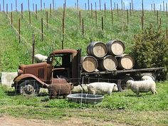 An old truck with wine barrels at the Lazy Creek Winery, Mendocino County, California