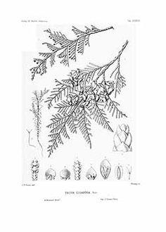 Thuja plicata botanical drawings - 95080 Thuya plicata D. Don / Sargent, C.S., The Silva of North America, vol. 10: t. 533 (1898) [C.E. Faxon]