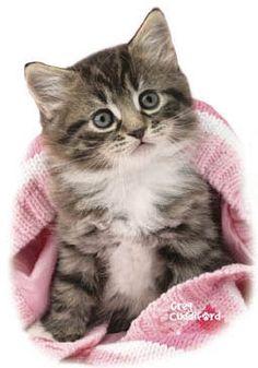 Pink Blanket Kitten