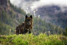 Wolves in Lamar Valley, Yellowstone Park.  Saw them and heard them howling...breathtaking.