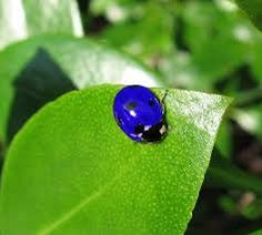 blue ladybugs