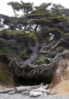 Tree Root Cave, Big Sur, California photo via abasa I love how this tree still holds it self high even though the soil has been washed away. Like this tree, no matter how many times the rug is pulled out from under me I will always stand tall and proud. Unique Trees, Trees Beautiful, Beautiful Things, Old Trees, Tree Roots, Nature Tree, Tree Forest, Forest Path, Dark Forest