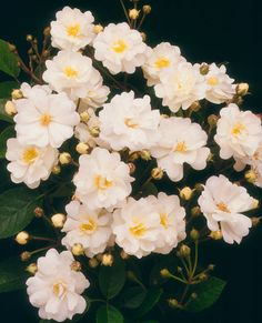 'Gourmet Popcorn' Mini Rose produces cascading clusters of fragrant snowy-white flowers all season on a disease-resistant plant. It grows 2 feet tall. Zones 5-9