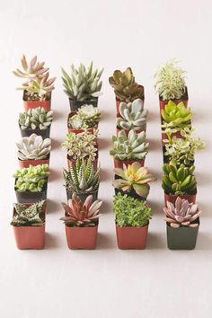 Succulent Care Discover 2 Live Assorted Succulents - Set of 20 Succulent Soil, Succulent Landscaping, Cacti And Succulents, Planting Succulents, Cacti Garden, Succulent Containers, Growing Succulents, Garden Edging, Succulent Terrarium