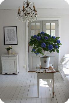 LILLA BLANKA: Syréntid ~ Lilac time blog. Hydrangea Tree indoors!!