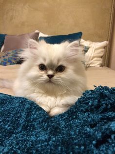 Beautiful White persian kitten with blue Lynx points - Scout